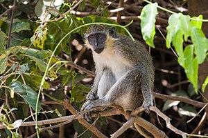 Affen Wikipedia