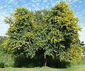 Acacia karroo, habitus, Jimmy Aves Park, d.jpg