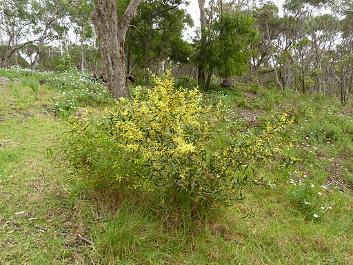 Acacia longifolia subsp. sophorae 3