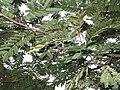 Acacia pennata-2-sanyasi malai-yercaud-salem-India.JPG
