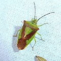 Acanthosoma haemorrhoidale 84502646.jpg