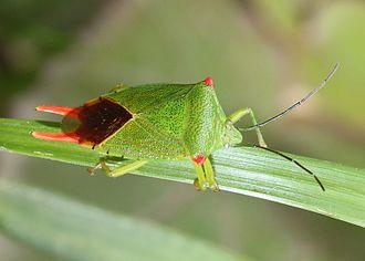 Pentatomoidea - Male Acanthosoma labiduroides
