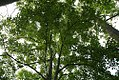 Acer buergeranum 5zz.jpg