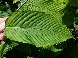 Acer carpinifolium - Image: Acer capinifolium leaf