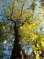 Acer pseudoplatanus (8).JPG