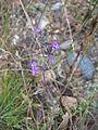 Acinos arvensis Bosilegrad 2.JPG