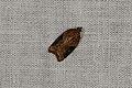 Acleris laterana (35697385713).jpg
