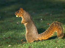 Acorn Squirrel.jpg