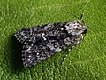 Acronicta rumicis - Knot grass - Стрельчатка щавелевая (40345367854).jpg