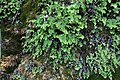 Adiantum capillus-veneris, Kanjon reke Jerme, Srbija (148).jpg