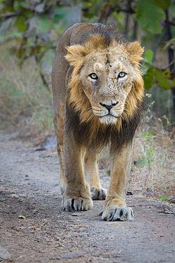 Adult Asiatic Lion.jpg