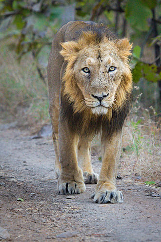 Asiatic lion - Male Asiatic lion in Gir National Park, India
