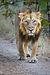 Dorosły lew azjatycki.jpg