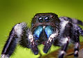 Adult Male Phidippus audax Jumping Spider.jpg