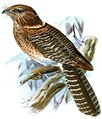 Aegotheles affinis.jpg