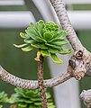 Aeonium dodrantale in Botanischer Garten Muenster (2).jpg