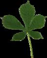 Aesculus Hippocastanum.png