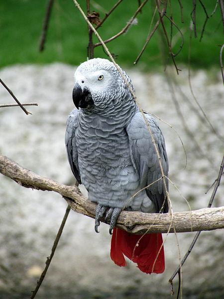 File:African Grey Parrot Sylvan Heights Waterfowl Park.jpg