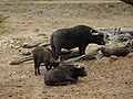 African buffalo at Wild Animal Park San Diego.jpg