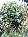 Afrocarpus falcatus (Serres de la Madone).jpg