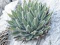 Agave victoriae-reginae (5664070116).jpg