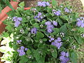 Ageratum houshonianum-Anna park-yercaud-salem-India.JPG