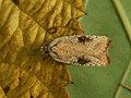 Agonopterix nervosa - Gorse tip moth (40146615604).jpg