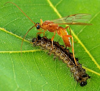 Rogadinae - Image: Aleiodes indiscretus wasp parasitizing gypsy moth caterpillar