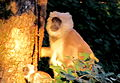 Alert Mother Langur (5290863403).jpg