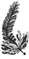 Alger, Alaria dolichorhachis, Nordisk familjebok.png