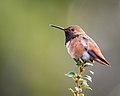 Allen's Hummingbird (39785632811).jpg