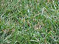 Allianz Arena closeup on grass.jpg
