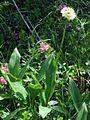Allium victorialis PID1416-3.jpg