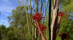 Allocasuarina distyla flowers 1.jpg