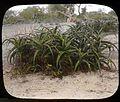 Aloe plants (3948855076).jpg