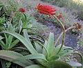 Aloe sp. Ribaue 7 (5974091491).jpg