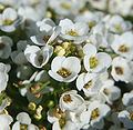 Alyssum Easter Bonnet White.jpg