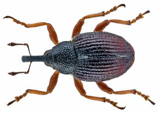<i>Amalus</i> Genus of beetles