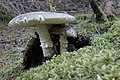 Amanita pantherina (30048911715).jpg