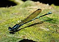 Amber-winged Dancer. Argia adamsi possible (42235112564).jpg