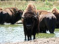 American Bison with friends.jpg