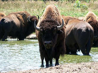 Cibolo Creek - The American bison, from which the name Cibolo is derived