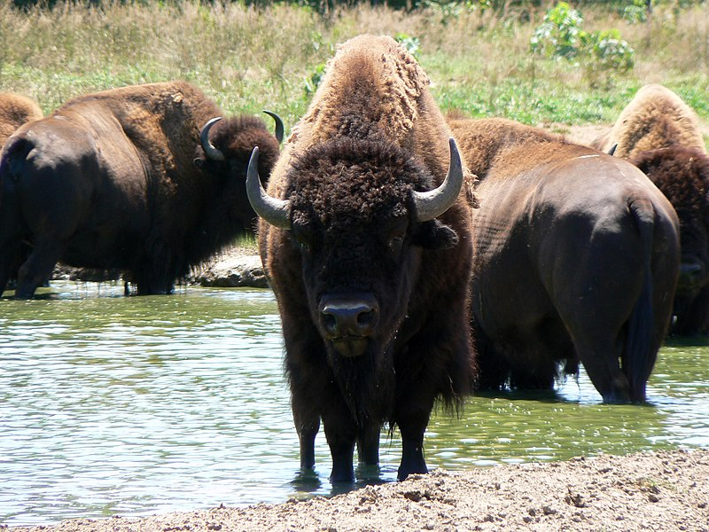 File:American Bison with friends.jpg