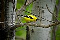 American Goldfinch (14298854761).jpg