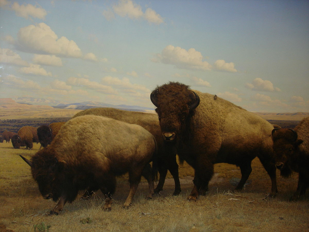 Stuffed Bison American Museum Of Natural History