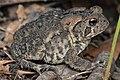 American Toad (Anaxyrus americanus) - Guelph, Ontario 03.jpg