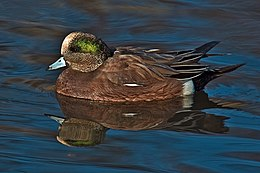 American Widgeon - natures pics.jpg