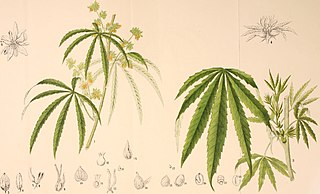 Cannabis illustration