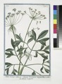 Ammi majus - Ammi Vulgare majus - Ammi Volgare. (Large Bullwort; Bishop's weed) (NYPL b14444147-1130628).tiff