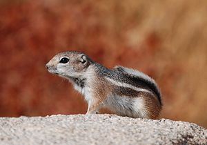 White-tailed antelope squirrel - White-tailed antelope squirrel in Joshua Tree National Park, California.